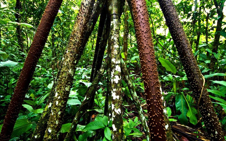 Το μυστηριώδες δάσος του Εκουαδόρ όπου τα δέντρα περπατούν - Εικόνα