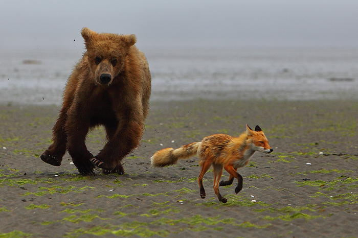 "An Alaskan brown bear chases a red fox across the mud at low tide. The bear was in a very playful mood and seemed intent on harassing the fox, who wanted nothing to do with it.<br /> <br /> | Exclusive Limited Edition of Two Hundred and Fifty |<br /> <br /> |  <a href=""http://www.natezeman.com/product/prints/203/"">Pricing</a>  