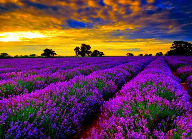 635892769765283530-1833925999_Beautiful-Lavender-Fields-Of-France